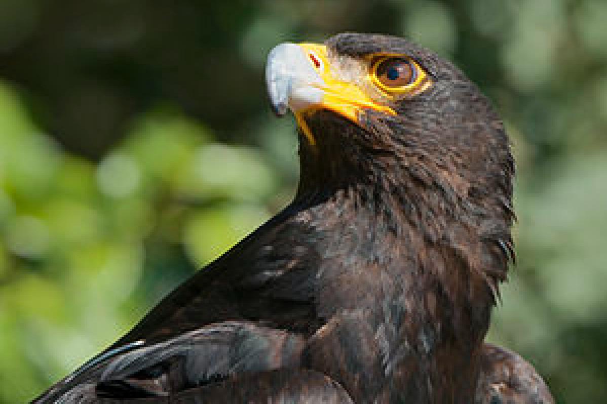 Verreaux Eagle bronkhorstspruit aqua vista estate